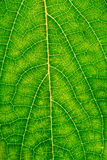 Macro shot of beech leaf Stock Photography
