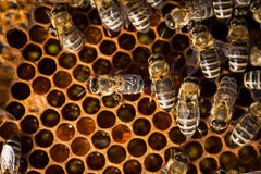 Macro shot of bees  on a honeycomb Royalty Free Stock Photo
