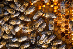 Macro shot of bees  on a honeycomb Stock Photo