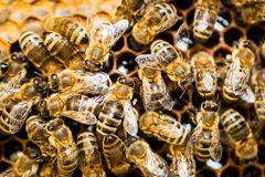 Macro shot of bees  on a honeycomb Royalty Free Stock Images