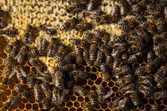 Macro shot of bees  on a honeycomb Stock Images