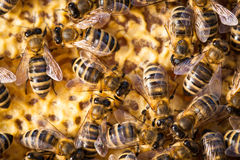 Macro shot of bees  on a honeycomb Stock Image