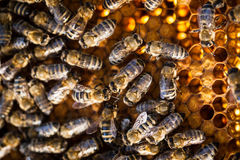 Macro shot of bees on a honeycomb Stock Photos