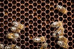 Macro shot of bees Royalty Free Stock Photos