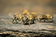 Macro shot of bees swarming Royalty Free Stock Photo