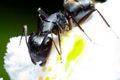 Ant macro Royalty Free Stock Image