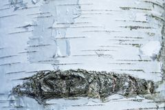 The macro shot of birch bark texture or background royalty free stock image