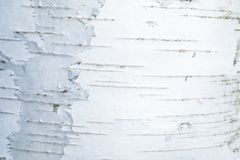 The macro shot of birch bark texture royalty free stock image