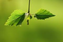 Macro shot of birch leaf Stock Photography