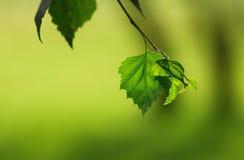 Macro shot of birch leaf Royalty Free Stock Photography