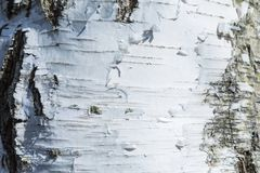 The macro shot of birch bark texture or background royalty free stock photography