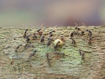 Macro shot of black ants on branch tree. Wildlife animal.  Insect on blur background royalty free stock image