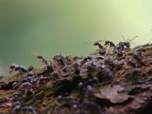 Macro shot of black ants on branch tree. Wildlife animal. Insect on blur background . Ant on green nature royalty free stock photos