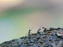 Macro shot of black ants on branch tree. Wildlife animal. Insect on blur background . Ant on green nature royalty free stock images