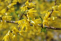 Spring Blooming Forsythia. Spring background with yellow flowers tree brunches. Shallow depth of field. Royalty Free Stock Photo