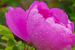 Macro shot of blooming pink roses. Royalty Free Stock Image
