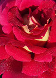 Macro shot of blooming red roses. Stock Image
