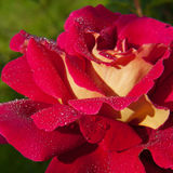 Macro shot of blooming red roses. Royalty Free Stock Photos