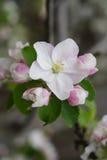 Macro shot of blooming in spring  flowers of apple tree. Vertical macro shot of blooming in spring  flowers of apple tree Royalty Free Stock Image