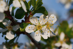 Macro shot of blooming in spring flowers of plum tree. Macro shot of blooming in spring flowers of peach tree Royalty Free Stock Photography