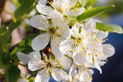 Macro shot of blooming in spring flowers of plum tree. Macro shot of blooming in spring flowers of peach tree Royalty Free Stock Photos