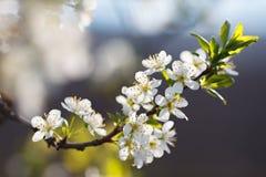 Macro shot of blooming in spring flowers of plum tree Stock Images