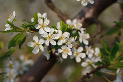 Macro shot of blooming in spring flowers of plum tree Stock Image