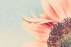 Macro shot of blooming sunflower. In retro style royalty free stock photography