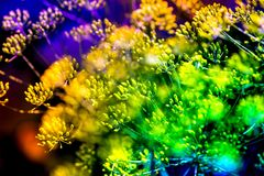 Macro shot of blossoming dill plants Royalty Free Stock Images