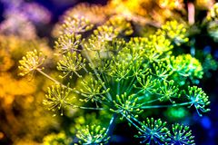 Macro shot of blossoming dill plants Royalty Free Stock Photography