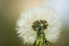 Macro shot of a blow ball. Nature photo: Macro shot of a dandelion. Who does not know the temptation to simply blow and watch as the seeds are carried away by royalty free stock photography