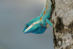 Macro shot of Blue-created lizard and its throat Royalty Free Stock Photo