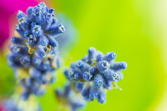 Macro shot of blue flowers. With blurred background Stock Image