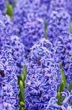 Macro shot of blue hyacinth Stock Photos