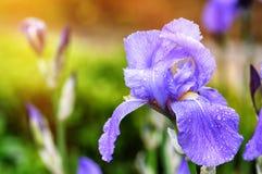 Macro shot of blue iris Stock Photo