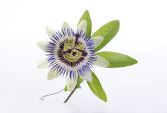 Macro shot of a blue passion flower passiflora. Macro shot of a blue passionflower use in herbal medicine royalty free stock image