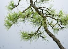 Macro shot of bonsai needles royalty free stock photography