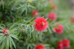 Macro shot of bottlebrush Stock Photography