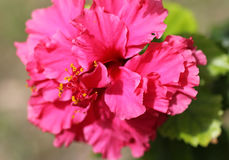 The macro shot of the bright hibiscus flower Stock Images