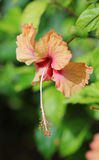 The macro shot of the bright hibiscus flower Royalty Free Stock Photography