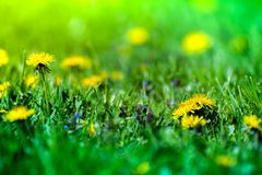 Macro shot of brightly yellow dandelion flowers. In the green meadow in countryside in early summer around summer solstice. Bees are seeking nectar in yellow Stock Photo