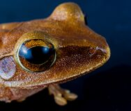 Macro Shot of Brown Frog Royalty Free Stock Photos