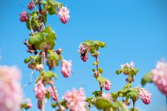 A macro shot of the buds and blooms of a flowering currant bush and a Bumble Bee isolated on the blue sky royalty free stock images
