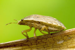 Macro shot of a bug on a dry leaf. A larger than life-size photograph of a kind of bug which has the tones of dry leaves. As opposed to beetles, bugs do not go royalty free stock photo