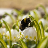 Macro shot of Bumble bee crawling on a flower. Royalty Free Stock Photography