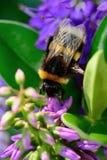 Bumble bee pollinating a purple flower. Macro shot of a bumble bee pollinating a purple flower in the garden Stock Photo