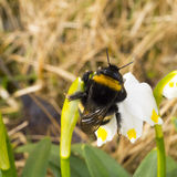 A macro shot of Bumble bee sleeping on a flower. Awakening of insect. Royalty Free Stock Image