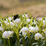 A macro shot of Bumble bee sleeping on a flower. The awakening of insect. Stock Photos
