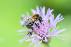 Macro shot of a bumblebee Stock Images