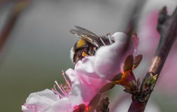 Macro shot of a bumblebee collecting pollen from peach tree blossom.  Royalty Free Stock Photo